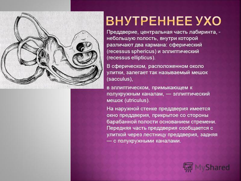 Преддверие, центральная часть лабиринта, - небольшую полость, внутри которой различают два кармана: сферический (recessus sphericus) и эллиптический (recessus ellipticus). В сферическом, расположенном около улитки, залегает так называемый мешок (sacc