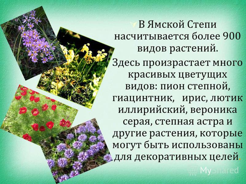 В Ямской Степи насчитывается более 900 видов растений. Здесь произрастает много красивых цветущих видов: пион степной, гиацинт ник, ирис, лютик иллирийский, вероника серая, степная астра и другие растения, которые могут быть использованы для декорати