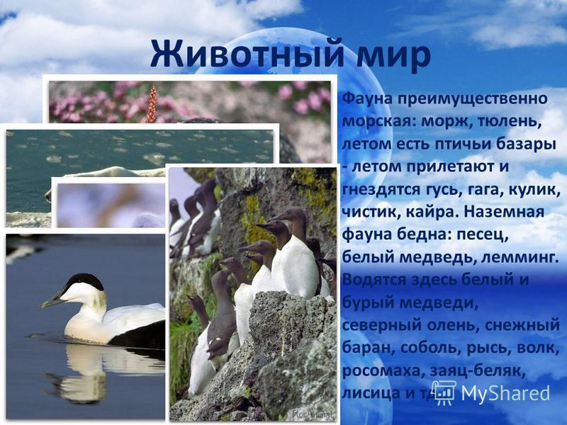 Фауна преимущественно морская: морж, тюлень, летом есть птичьи базары - летом прилетают и гнездятся гусь, гага, кулик, чистик, кайра. Наземная фауна бедна: песец, белый медведь, лемминг. Водятся здесь белый и бурый медведи, северный олень, снежный ба