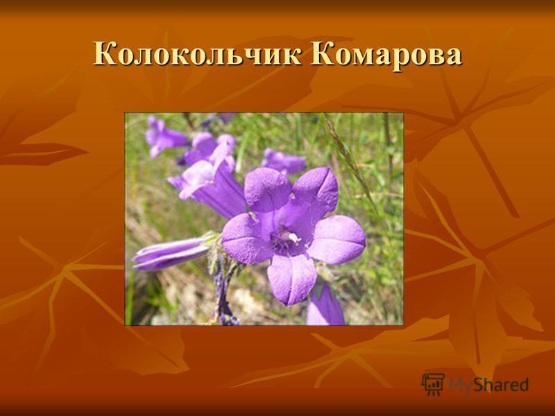 Колокольчик Комарова