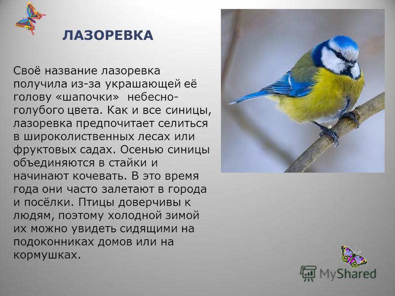 ДУБОНОС Дубонос – птица с плотным телосложением, короткими сильными ногами, широкими крыльями и мощным толстым клювом. Излюбленный корм дубоноса – ядрышки косточек черёмухи и вишни. Стайка дубоносов, поселившаяся в вишнёвом саду, - настоящее бедствие