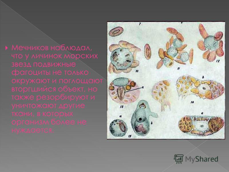 Мечников наблюдал, что у личинок морских звезд подвижные фагоциты не только окружают и поглощают вторгшийся объект, но также ресорбируют и уничтожают другие ткани, в которых организм более не нуждается.