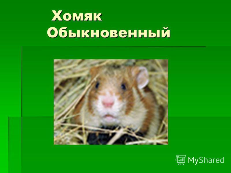 Хомяк Обыкновенный Хомяк Обыкновенный