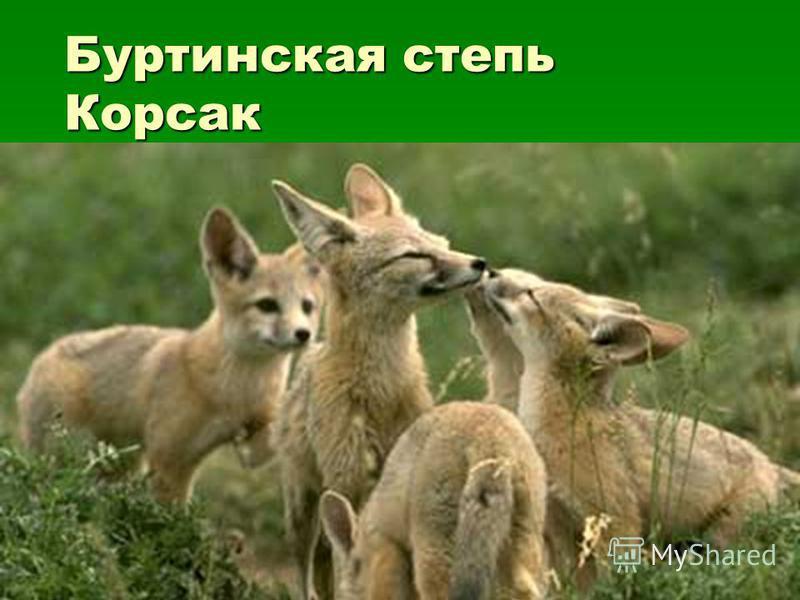 Буртинская степь Корсак Буртинская степь Корсак