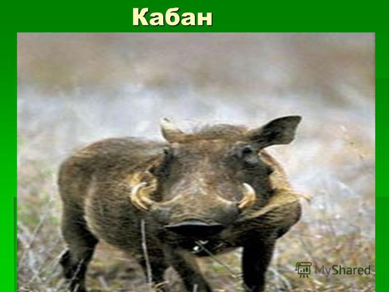 Кабан Кабан