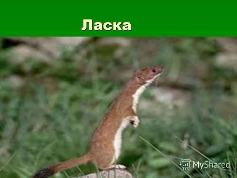 Ласка Ласка