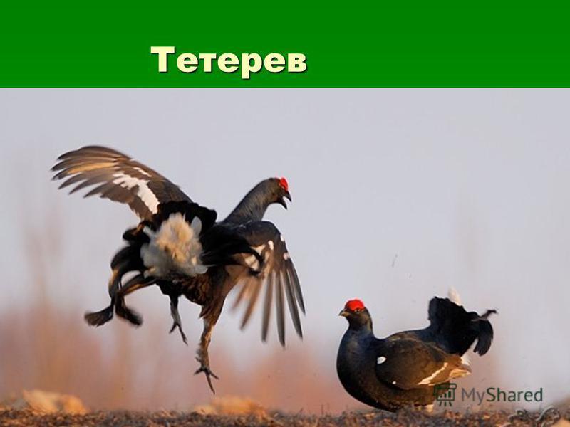 Тетерев Тетерев