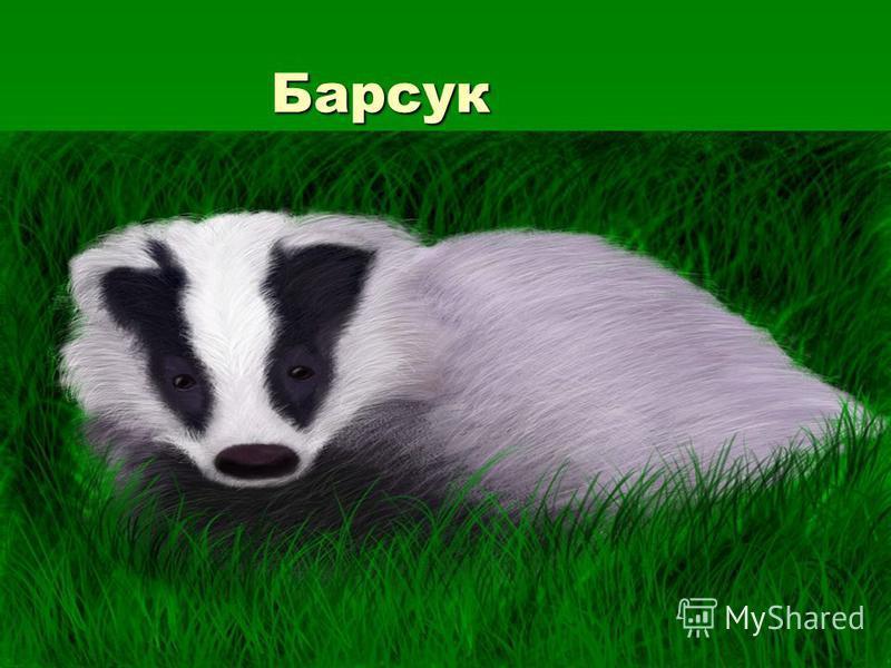 Барсук Барсук