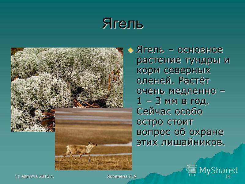 11 августа 2015 г.11 августа 2015 г.11 августа 2015 г.11 августа 2015 г. Яковлева Л.А. 14 Ягель Ягель – основное растение тундры и корм северных оленей. Растёт очень медленно – 1 – 3 мм в год. Сейчас особо остро стоит вопрос об охране этих лишайников