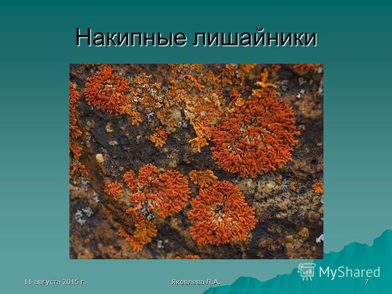 11 августа 2015 г.11 августа 2015 г.11 августа 2015 г.11 августа 2015 г. Яковлева Л.А. 7 Накипные лишайники