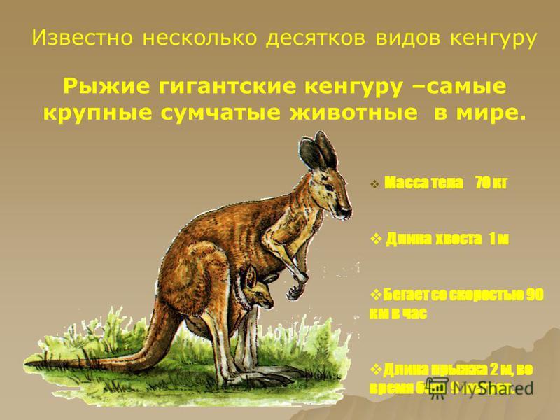 Известно несколько десятков видов кенгуру Рыжие гигантские кенгуру –самые крупные сумчатые животные в мире. Масса тела 70 кг Длина хвоста 1 м Бегает со скоростью 90 км в час Длина прыжка 2 м, во время бега 9 метров.