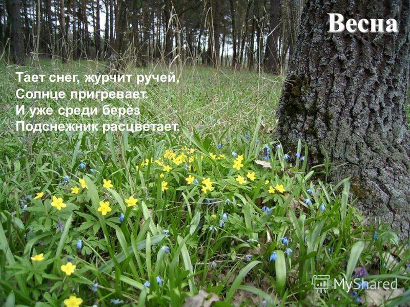 Весна Тает снег, журчит ручей, Солнце пригревает. И уже среди берёз Подснежник расцветает.