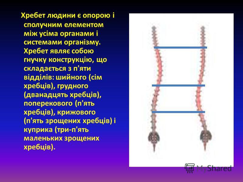 Хребет людини є опорою і сполучним елементом між усіма органами і системами організму. Хребет являє собою гнучку конструкцію, що складається з п'яти відділів: шийного (сім хребців), грудного (дванадцять хребців), поперекового (п'ять хребців), крижово