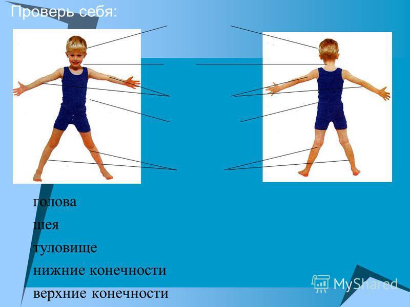 Проверь себя: голова шея туловище нижние конечности верхние конечности