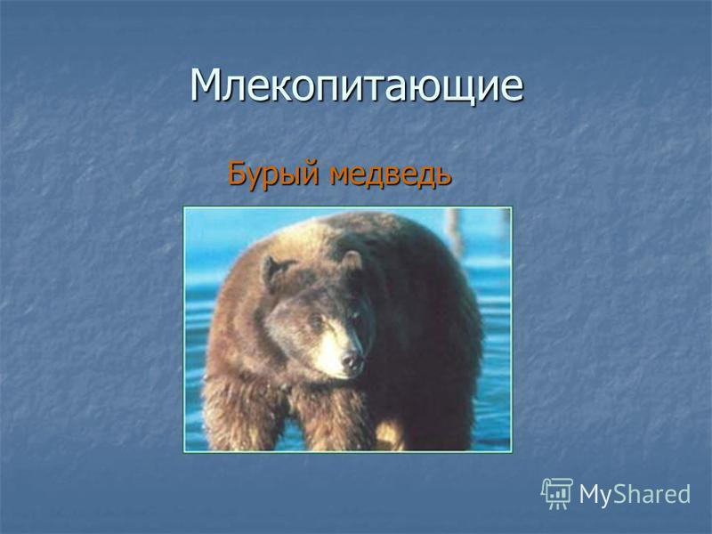Млекопитающие Бурый медведь