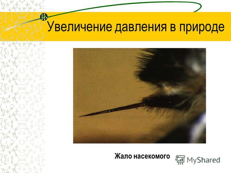 Увеличение давления в природе Жало насекомого
