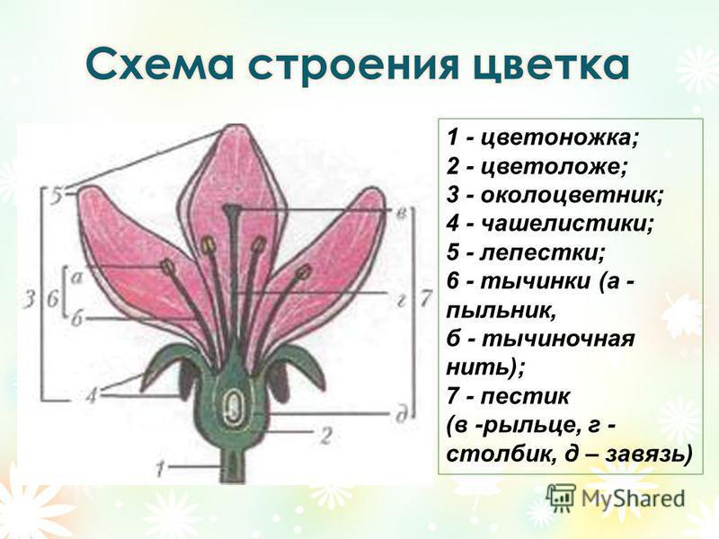 1 - цветоножка; 2 - цветоложе; 3 - околоцветник; 4 - чашелистики; 5 - лепестки; 6 - тычинки (а - пыльник, б - тычиночная нить); 7 - пестик (в -рыльце, г - столбик, д – завязь)