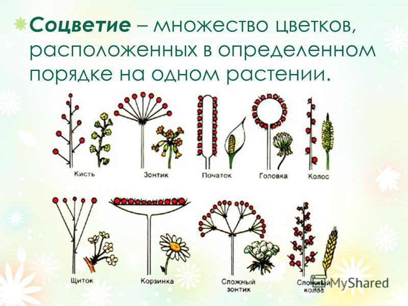 Соцветие – множество цветков, расположенных в определенном порядке на одном растении.