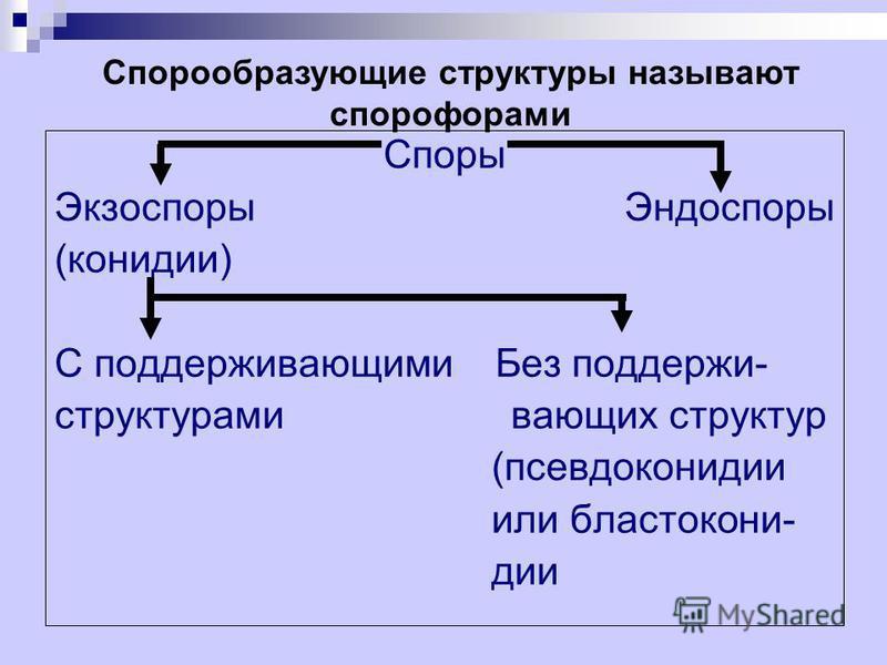 Споры Экзоспоры Эндоспоры (конидии) С поддерживающими Без поддержи- структурами воющих структур (псевдоконидии или бластокони- дии Спорообразующие структуры называют спорофорами