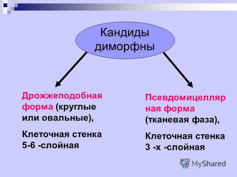 Кандиды диморфны Дрожжеподобная форма (круглые или овальные), Клеточная стенка 5-6 -слойная Псевдомицелляр ная форма (тканевая фаза), Клеточная стенка 3 -х -слойная