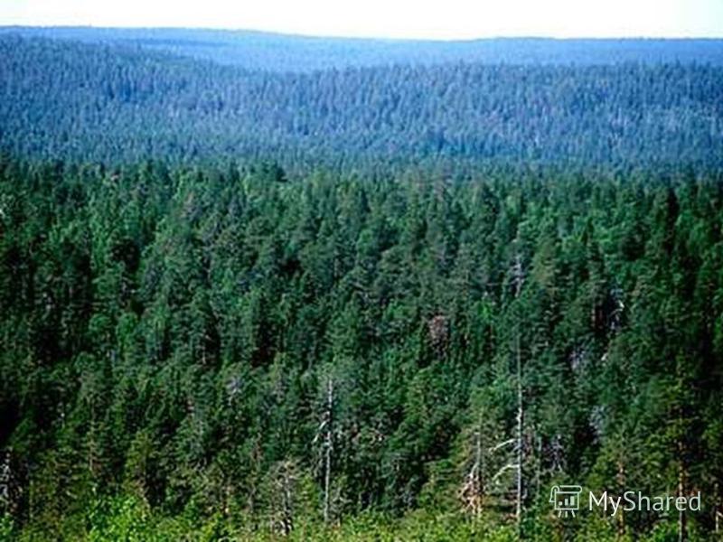 Природная зона 5. Эта природная зона умеренного пояса формируется в условиях суровой зимы и умеренно теплого лета. Леса темные, плохо развит подлесок и травяной покров. Главные представители растительности: ель, сосна, пихта, лиственница, кедр….. Гла