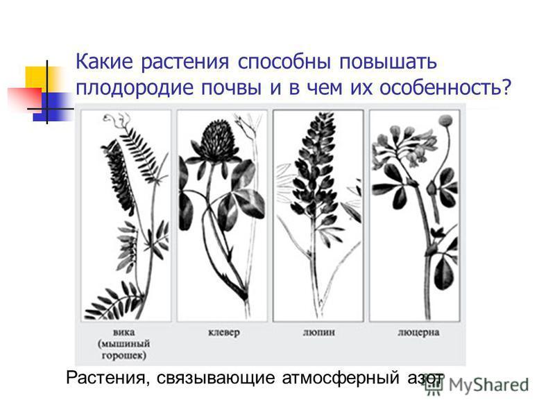 Какие растения способны повышать плодородие почвы и в чем их особенность? Растения, связывающие атмосферный азот