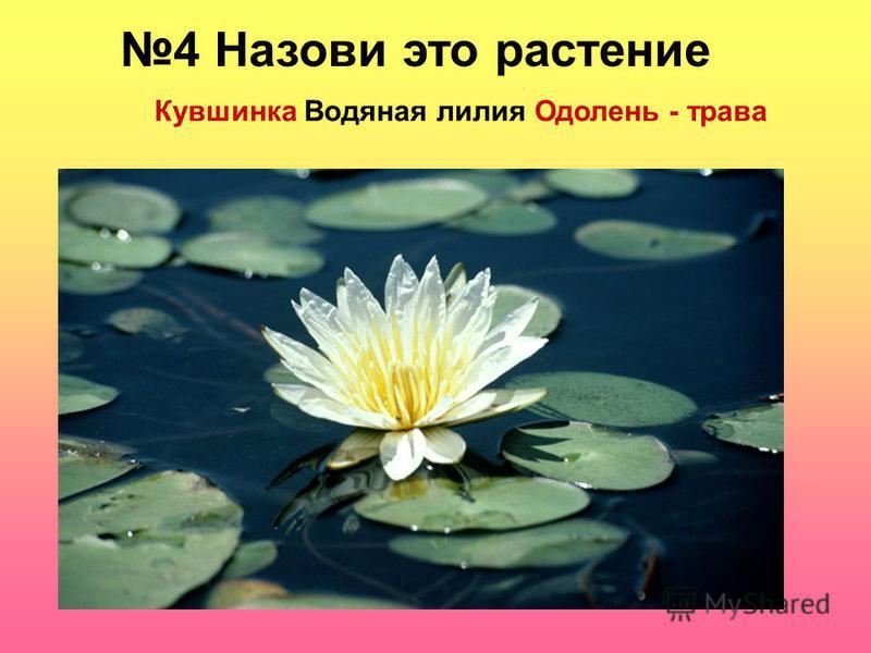 4 Назови это растение Кувшинка Водяная лилия Одолень - трава