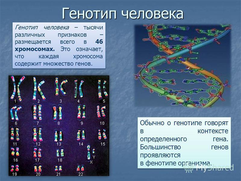 Генотип человека Обычно о генотипе говорят в контексте определенного гена. Большинство генов проявляются в фенотипе организма. Генотип человека – тысячи различных признаков – размещается всего в 46 хромосомах. Это означает, что каждая хромосома содер