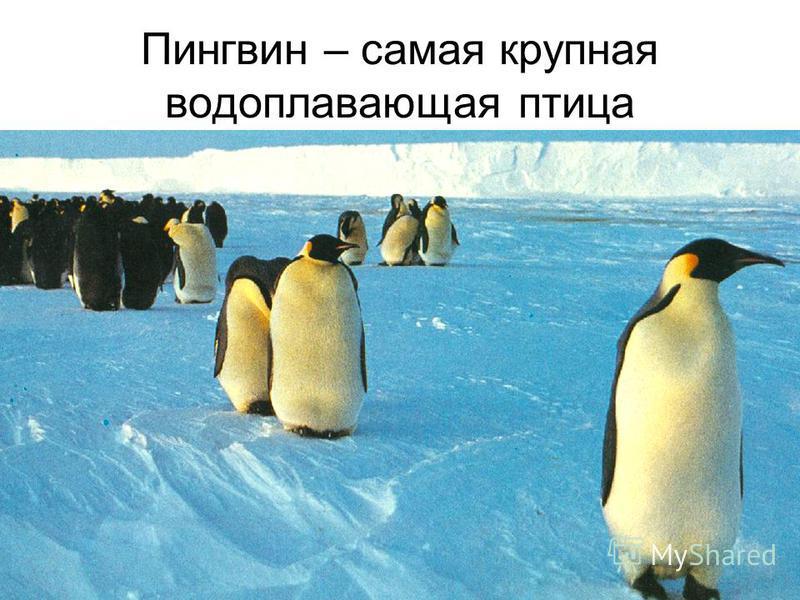 Пингвин – самая крупная водоплавающая птица