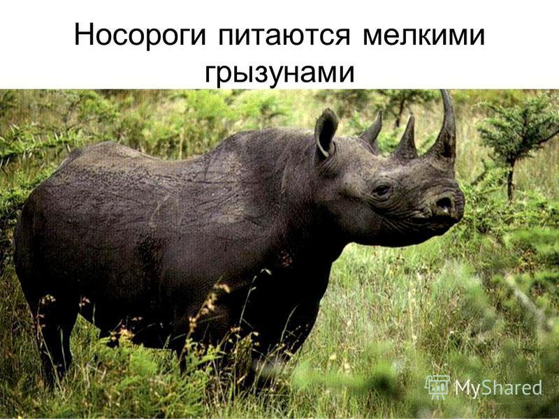 Носороги питаются мелкими грызунами