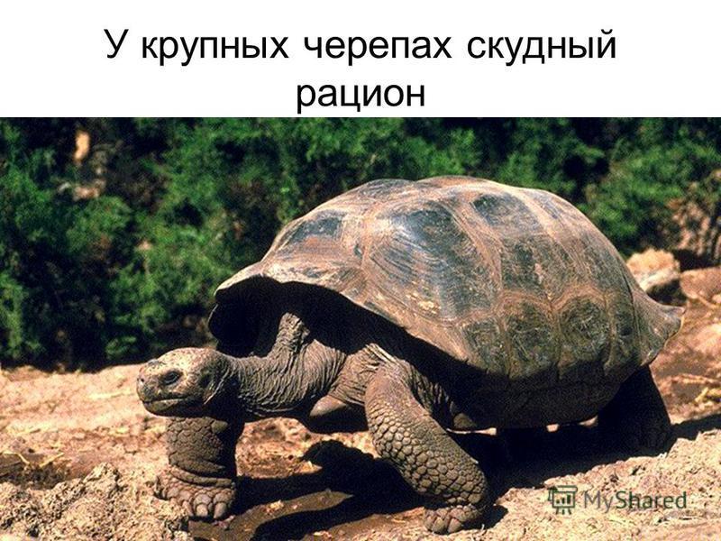 У крупных черепах скудный рацион