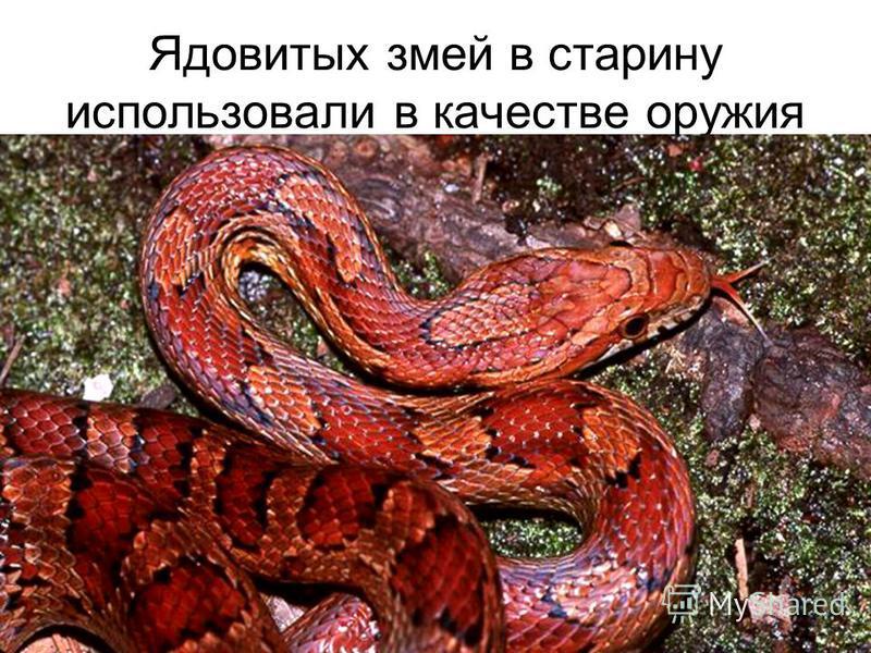 Ядовитых змей в старину использовали в качестве оружия