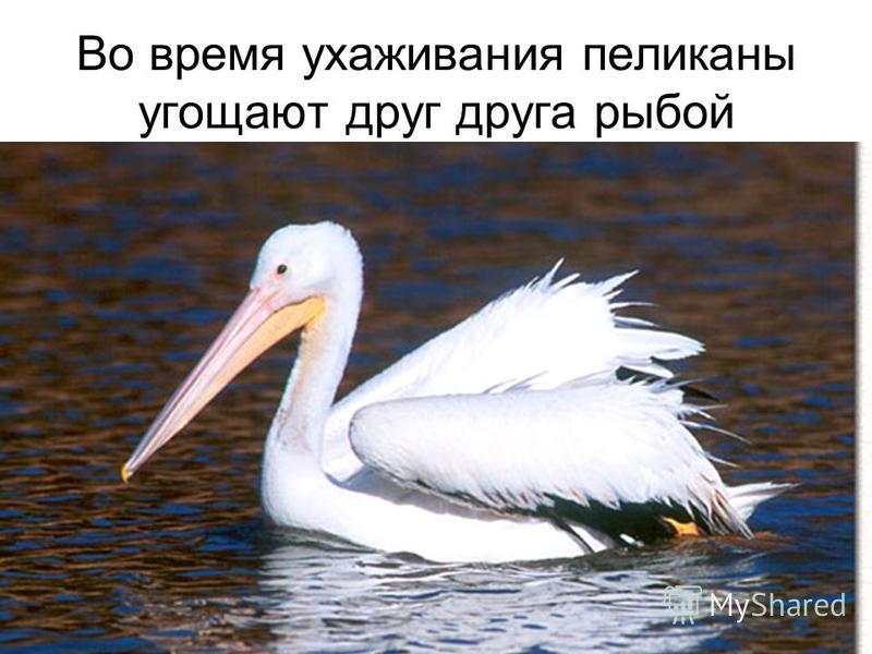 Во время ухаживания пеликаны угощают друг друга рыбой