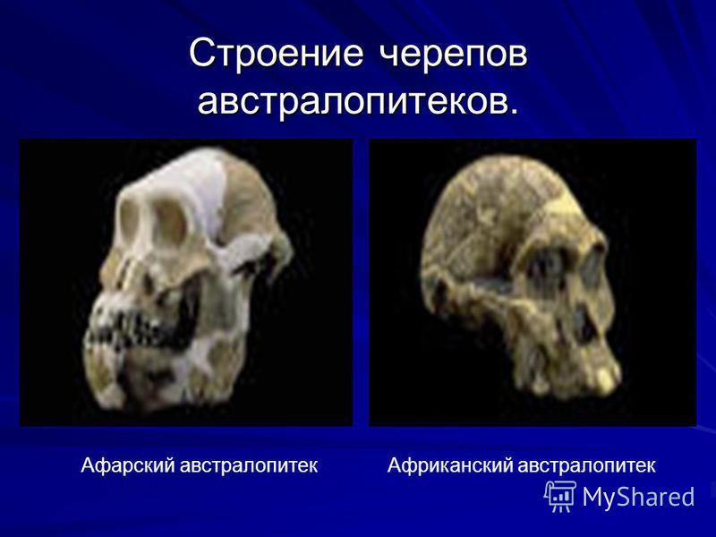 Строение черепов австралопитеков. Африканский австралопитек Афарский австралопитек