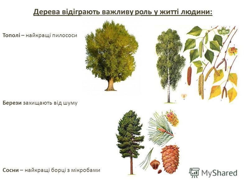 Дерева відіграють важливу роль у житті людини: Тополі – найкращі пилососи Берези захищають від шуму Сосни – найкращі борці з мікробами