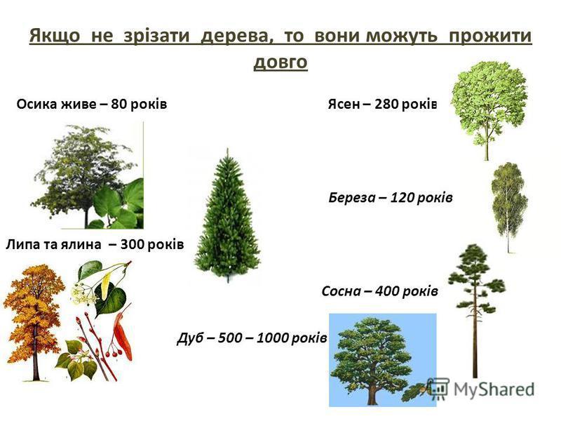 Якщо не зрізати дерева, то вони можуть прожити довго Осика живе – 80 років Ясен – 280 років Береза – 120 років Липа та ялина – 300 років Сосна – 400 років Дуб – 500 – 1000 років