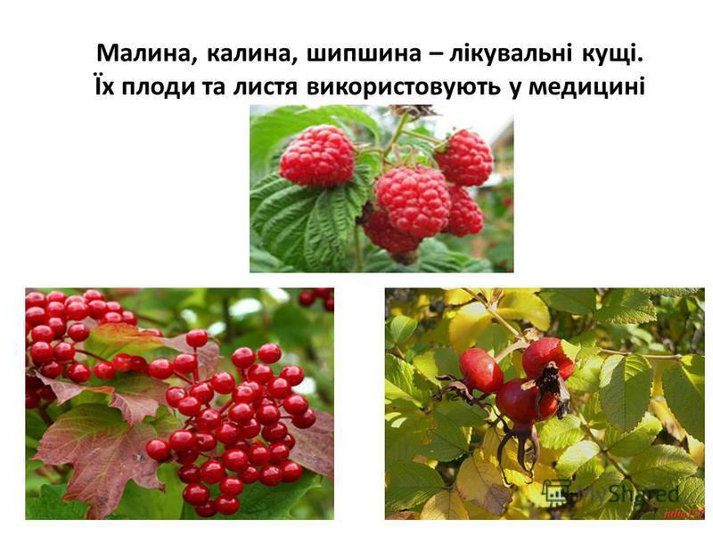 Малина, калина, шипшина – лікувальні кущі. Їх плоди та листя використовують у медицині