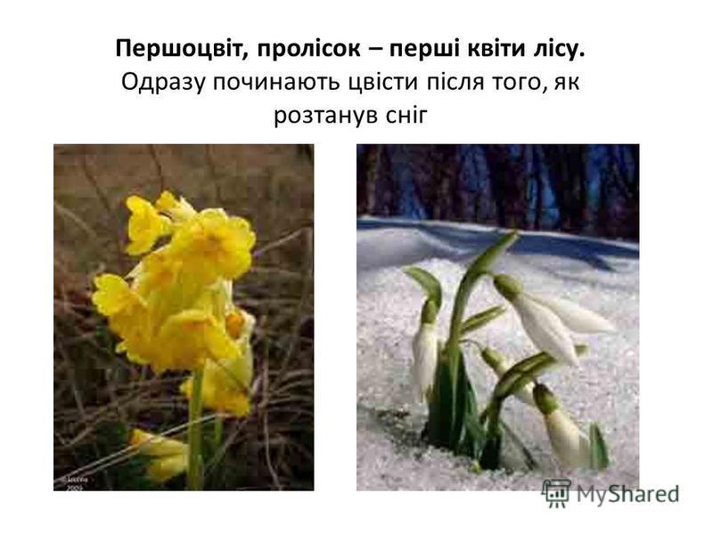 Першоцвіт, пролісок – перші квіти лісу. Одразу починають цвісти після того, як розтанув сніг