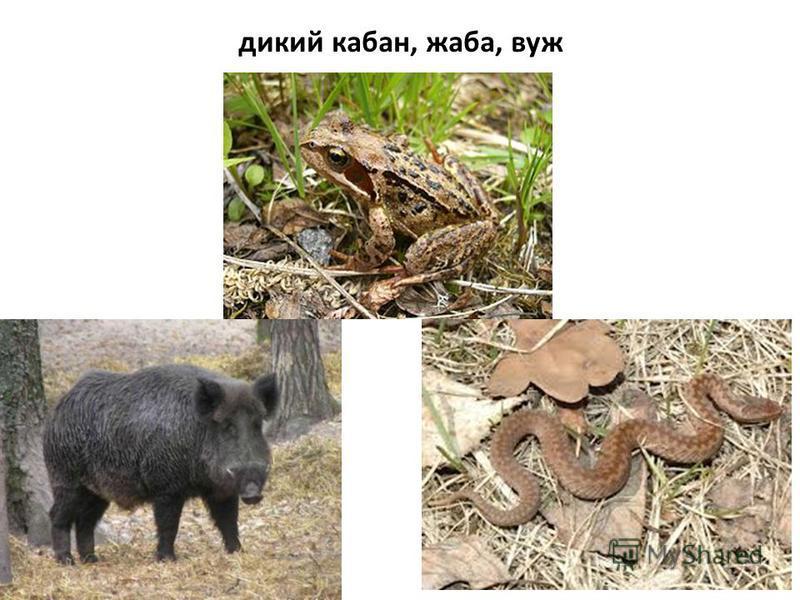 дикий кабан, жаба, вуж