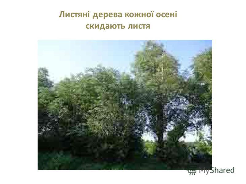 Листяні дерева кожної осені скидають листя
