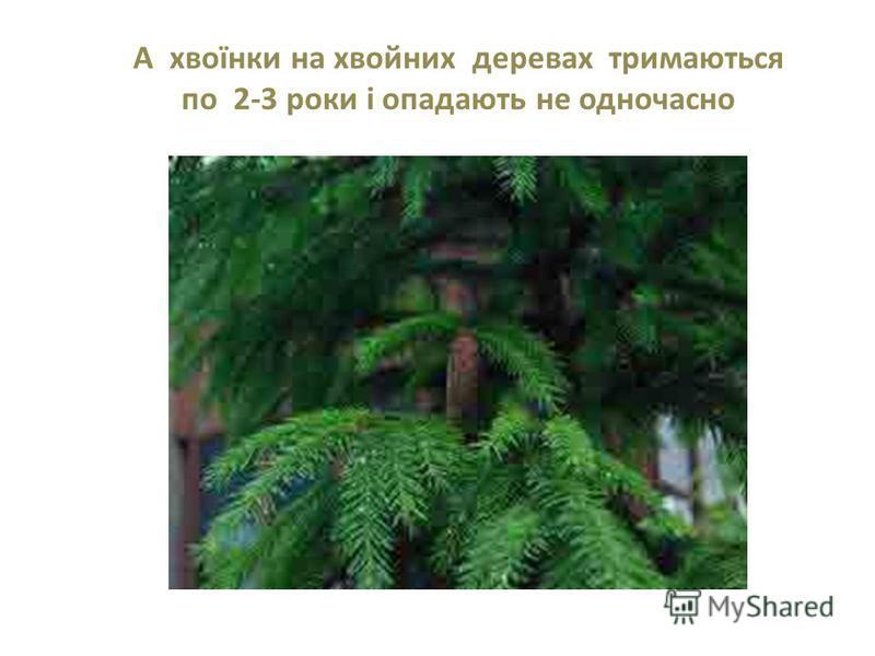 А хвоїнки на хвойних деревах тримаються по 2-3 роки і опадають не одночасно