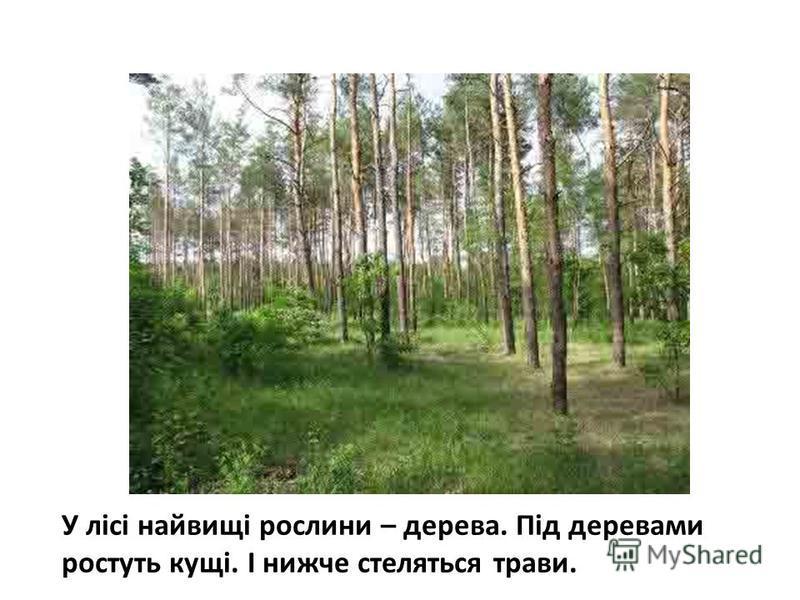 У лісі найвищі рослини – дерева. Під деревами ростуть кущі. І нижче стеляться трави.