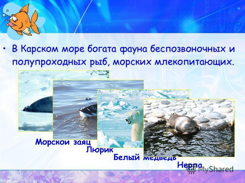 В Карском море богата фауна беспозвоночных и полупроходных рыб, морских млекопитающих. Морской заяц Люрик Белый медведь Нерпа