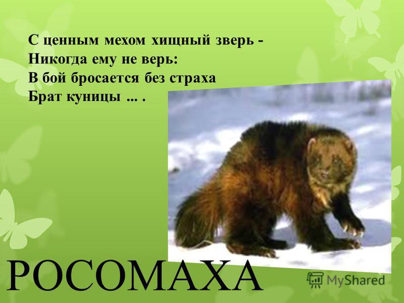С ценным мехом хищный зверь - Никогда ему не верь: В бой бросается без страха Брат куницы.... РОСОМАХА