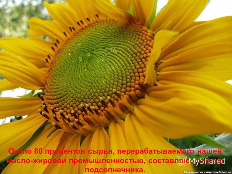 В настоящее время производство подсолнечника и масла из него распространено практически по всему миру. Но нигде не цветут так широко золотые соцветия подсолнечника, как в нашей стране. Из 7 миллионов гектаров, занятых подсолнечником во всем мире, 5 м