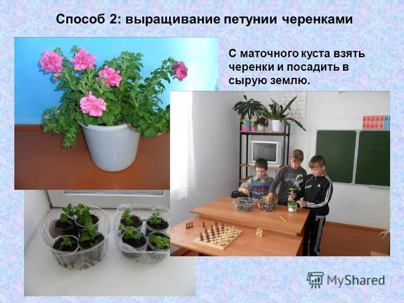 Способ 2: выращивание петунии черенками С маточного куста взять черенки и посадить в сырую землю.