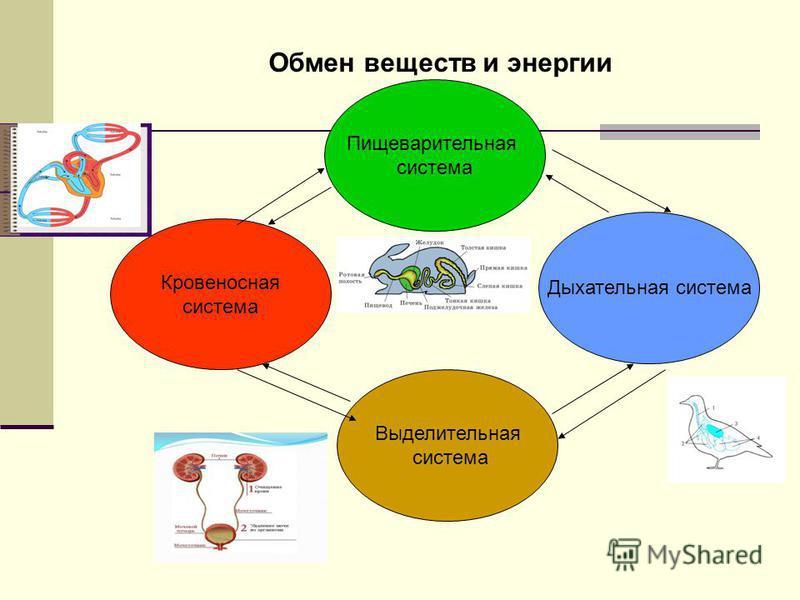 Пищеварительная система Дыхательная система Кровеносная система Выделительная система Обмен веществ и энергии