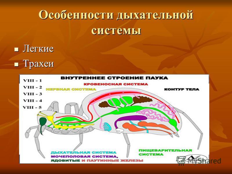 Особенности дыхательной системы Легкие Легкие Трахеи Трахеи