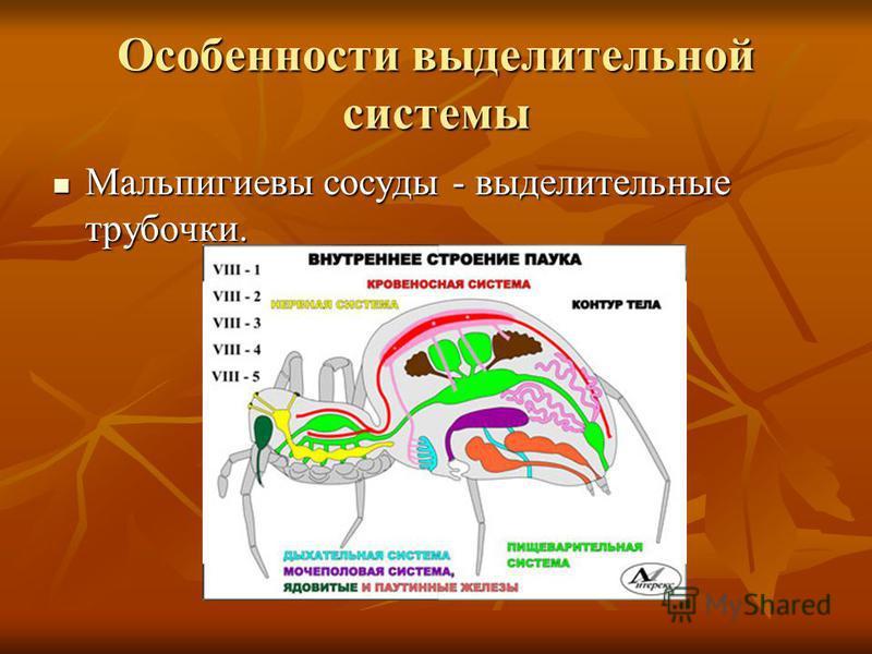 Особенности выделительной системы Мальпигиевы сосуды - выделительные трубочки. Мальпигиевы сосуды - выделительные трубочки.