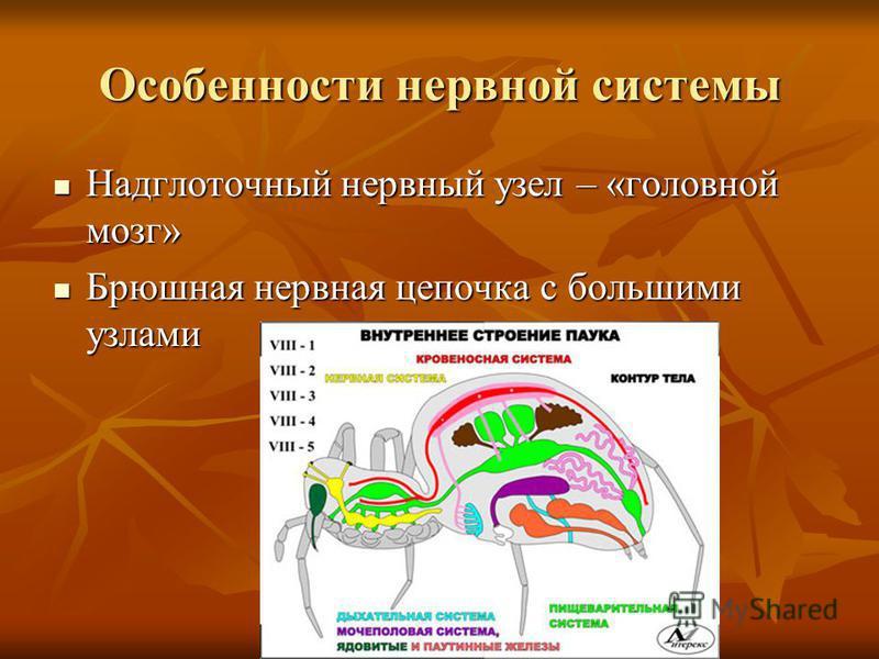 Особенности нервной системы Надглоточный нервный узел – «головной мозг» Надглоточный нервный узел – «головной мозг» Брюшная нервная цепочка с большими узлами Брюшная нервная цепочка с большими узлами